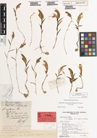 Syntype of Pterostylis robusta R.S.Rogers [family ORCHIDACEAE]