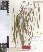 Isotype of Poa helmsii Vickery [family POACEAE]