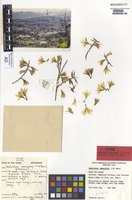 Isotype of Dendrobium womersleyi T.M.Reeve [family ORCHIDACEAE]