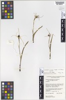 Isotype of Caladenia nivalis Hopper & A.P.Br. [family ORCHIDACEAE]