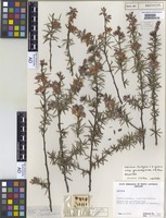 Holotype of Labichea teretifolia C.A.Gardner subsp. grandistipulata J.H.Ross [family FABACEAE]