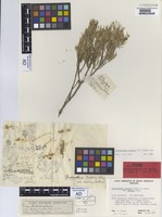 Holotype of Prostanthera baxteri A.Cunn. ex Benth. var. sericea J.M.Black [family LAMIACEAE]