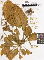 Holotype of Nicotiana truncata Symon [family SOLANACEAE]