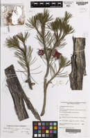 Isotype of Calothamnus roseus A.S.George [family MYRTACEAE]