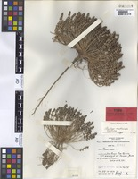Holotype of Plantago multiscapa B.G.Briggs [family PLANTAGINACEAE]