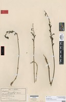 Syntype of Gastrodia cunninghamii Hook.f. [family ORCHIDACEAE]
