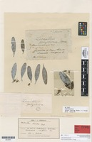 Syntype of Alepis flavida (Hook.f) Tiegh. [family LORANTHACEAE]