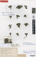 Lectotype of Chionohebe glabra (Cheeseman) Heads [family SCROPHULARIACEAE]