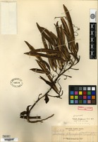 Isotype of Galeola philippinensis Ames [family ORCHIDACEAE]
