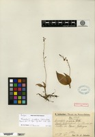 Isotype of Microstylis sciaphila Schlechter [family ORCHIDACEAE]