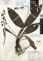 Holotype of Calanthe mexicana H. G. Reichenbach var. retusa Correll [family ORCHIDACEAE]