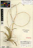Holotype of Oncidium domingense Moir [family ORCHIDACEAE]