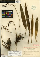 Holotype of Coelogyne plicatissima Ames & C. Schweinfurth [family ORCHIDACEAE]