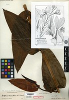 Holotype of Epistephium brevicristatum R. E. Schultes [family ORCHIDACEAE]