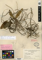 Holotype of Sarcochilus palawanensis Ames [family ORCHIDACEAE]