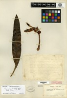 Holotype of Trigonidium lankesteri Ames [family ORCHIDACEAE]