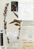 Holotype of Habenaria aviculoides Ames & Schlechter [family ORCHIDACEAE]