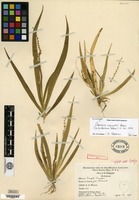 Holotype of Oberonia wenzelii Ames [family ORCHIDACEAE]