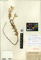 Isolectotype of Pachyphyllum breviconnatum Schlechter [family ORCHIDACEAE]