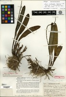 Holotype of Stelis lindleyana Cogniaux var. carosior C. Schweinfurth [family ORCHIDACEAE]