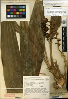 Holotype of Lycomormium ecuadorense H. R. Sweet [family ORCHIDACEAE]