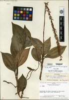 Holotype of Microchilus glanduliferus Ormerod [family ORCHIDACEAE]