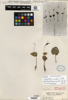 Isotype of Corysanthes mirabilis Schlechter [family ORCHIDACEAE]