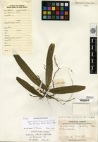 Isotype of Gastrochilus hainanensis Z. H. Tsi [family ORCHIDACEAE]