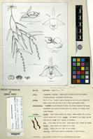 Holotype of Epidendrum andinum Carnevali & G. A. Romero [family ORCHIDACEAE]