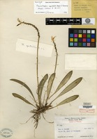 Holotype of Pleurothallis spectabilis Ames & C. Schweinfurth [family ORCHIDACEAE]