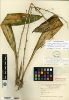 Lectotype of Liparis grandis Ames & C. Schweinfurth [family ORCHIDACEAE]