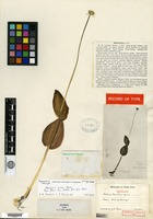 Holotype of Malaxis rosei Ames [family ORCHIDACEAE]