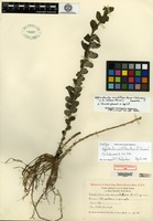 Holotype of Appendicula minutiflora Ames & C. Schweinfurth [family ORCHIDACEAE]