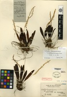 Holotype of Dendrochilum binuangense Ames [family ORCHIDACEAE]