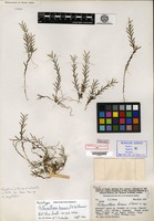Holotype of Chitonanthera brassii L. O. Williams [family ORCHIDACEAE]