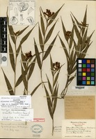 Holotype of Elleanthus tricallosus Ames & C. Schweinfurth [family ORCHIDACEAE]