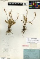 Holotype of Stelis calyculata Garay [family ORCHIDACEAE]