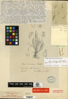 Holotype of Stelis tricuspis Schlechter [family ORCHIDACEAE]