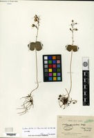 Isotype of Listera oblata S. C. Chen [family ORCHIDACEAE]