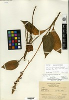 Holotype of Microchilus nugax Ormerod [family ORCHIDACEAE]