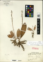 Holotype of Spiranthes gonzalesii L. O. Williams [family ORCHIDACEAE]