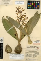Holotype of Epidendrum magnispatha Ames, F. T. Hubbard & C. Schweinfurth [family ORCHIDACEAE]