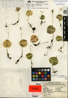 Holotype of Liparis cordiformis C. Schweinfurth [family ORCHIDACEAE]