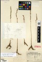 Holotype of Spiranthes affinis C. Schweinfurth [family ORCHIDACEAE]