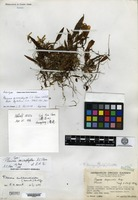 Holotype of Pleione microphylla S. C. Chen & Z. H. Tsi [family ORCHIDACEAE]