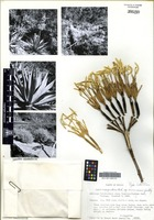 Isotype of Agave inaequidens K. Koch subsp. barrancensis Gentry [family ASPARAGACEAE]