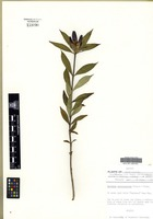 Isotype of Gentiana austromontana J.S. Pringle & A.J. Sharp [family GENTIANACEAE]