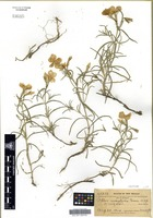 Isotype of Phlox mesoleuca Greene [family POLEMONIACEAE]