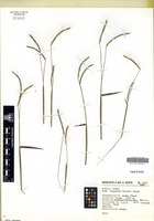 Isotype of Paspalum hintonii Chase [family POACEAE]
