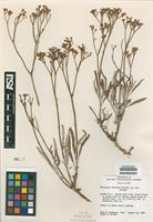 Isotype of Eriogonum saurinum J. L. Reveal [family POLYGONACEAE]
